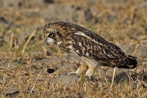 Short Eared Owl regurgitating a pellet
