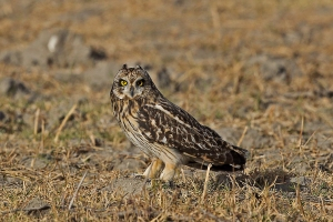Mascara-lined captivating eyes of the Short Eared Owl